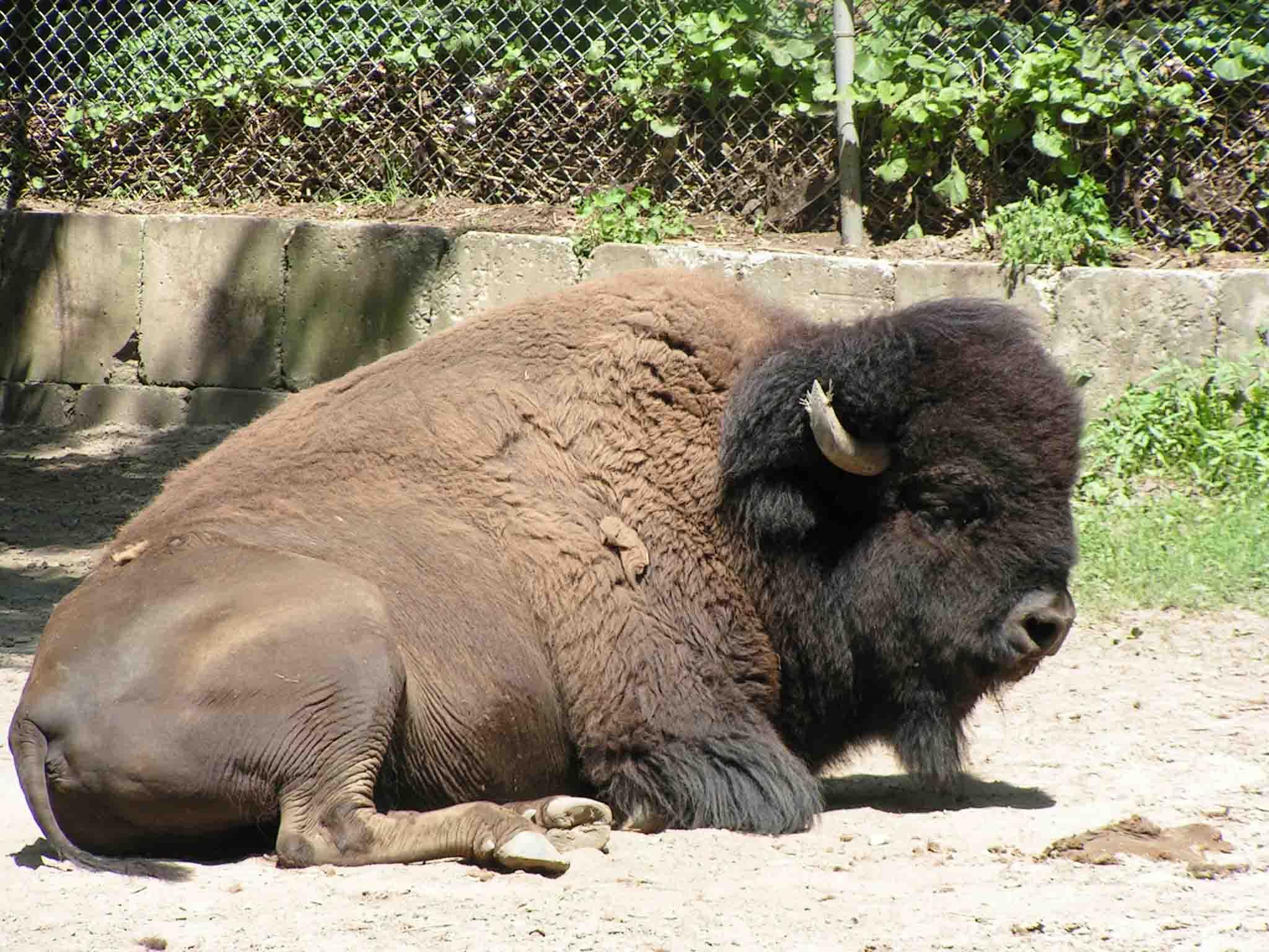 Joseph Bruchac - Buffalo in Syracuse Zoo: http://armedwithvisions.com/2012/01/22/joseph-bruchac-buffalo-in-syracuse-zoo/