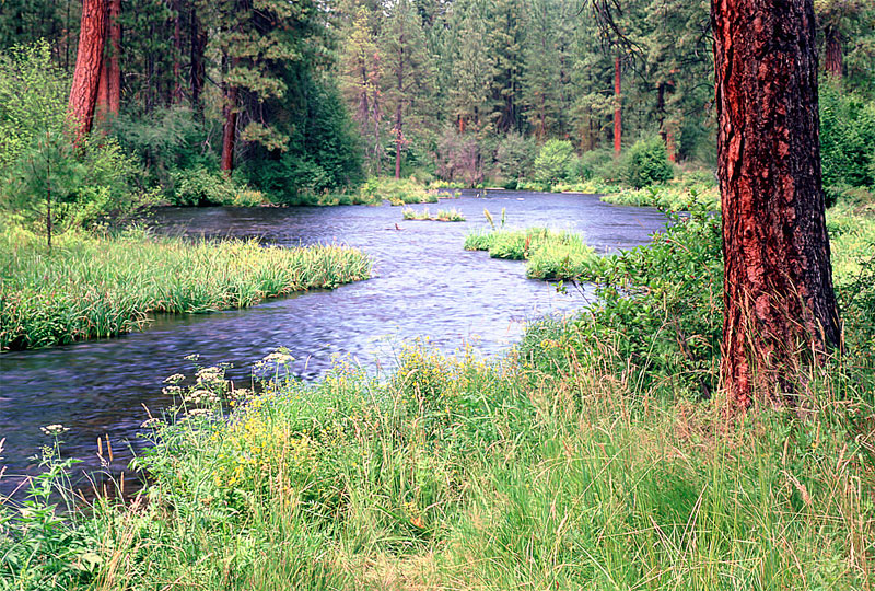 metolius_river_pine_lg