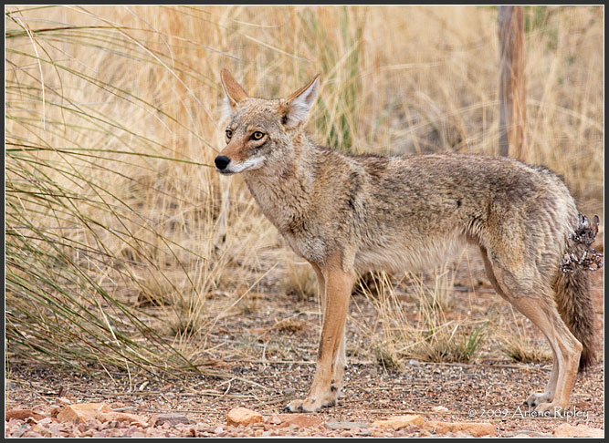 coyote_7431