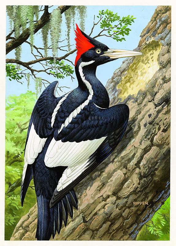 1248_Ivory_billed_Woodpecker_Chuck_Ripper