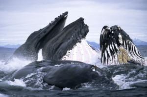 Humpback-Whales-Feeding-I-003
