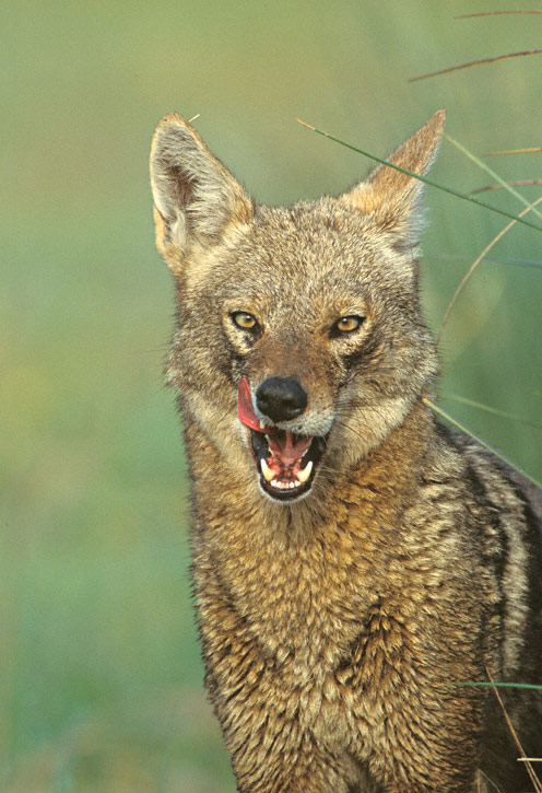 Coyote-F1