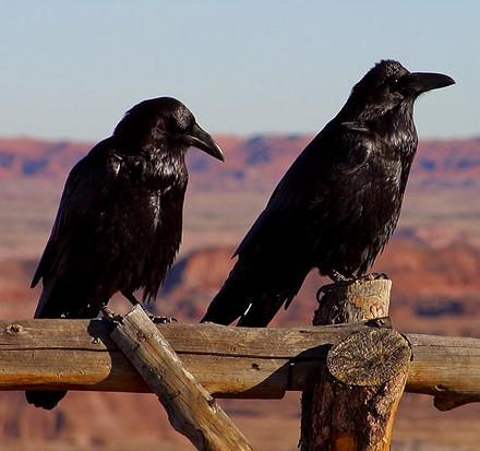ravens_demonstr