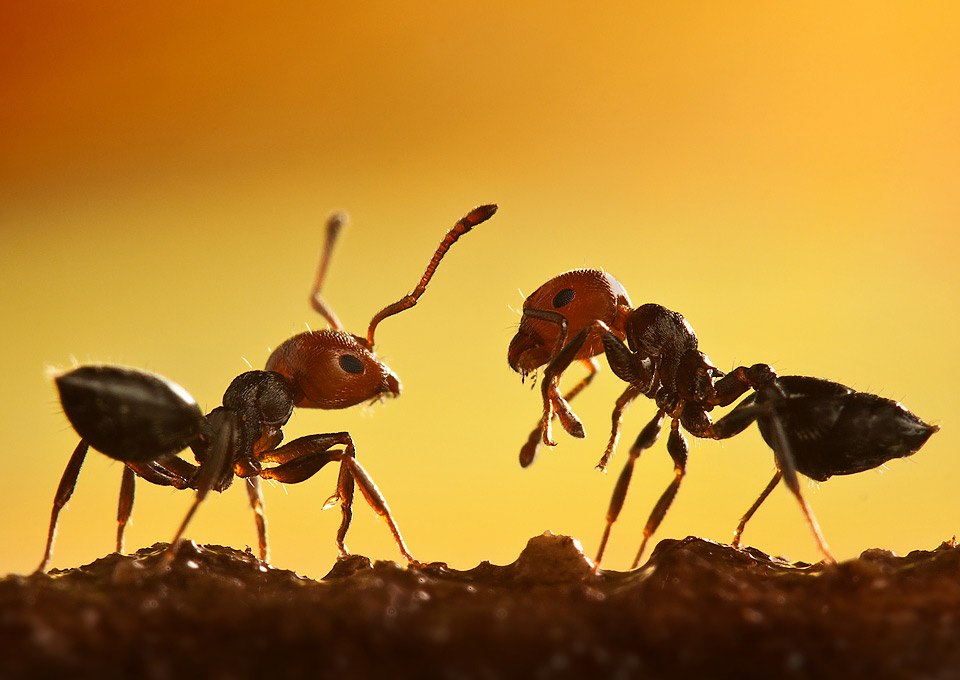 macro-shot-of-two-ants