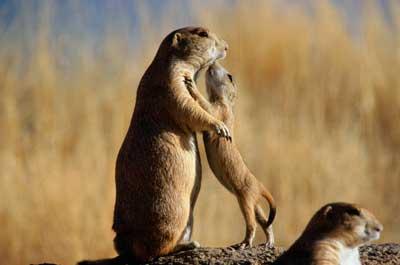 Do Prairie Dogs Eat Their Babies