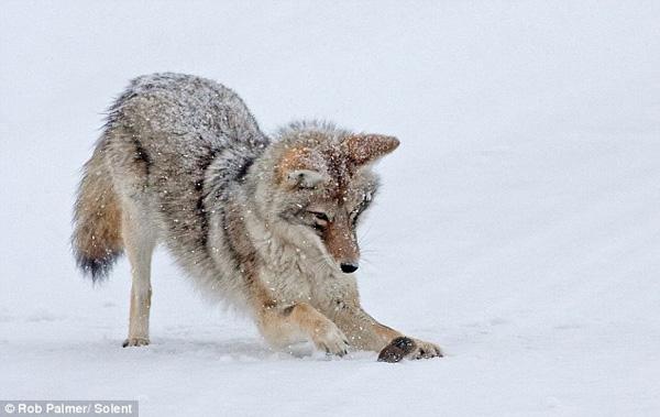 vole_coyote_02