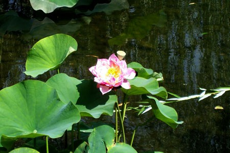 water_hyacinth_2_0