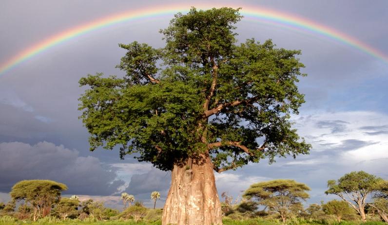 NatGeo-Baobab