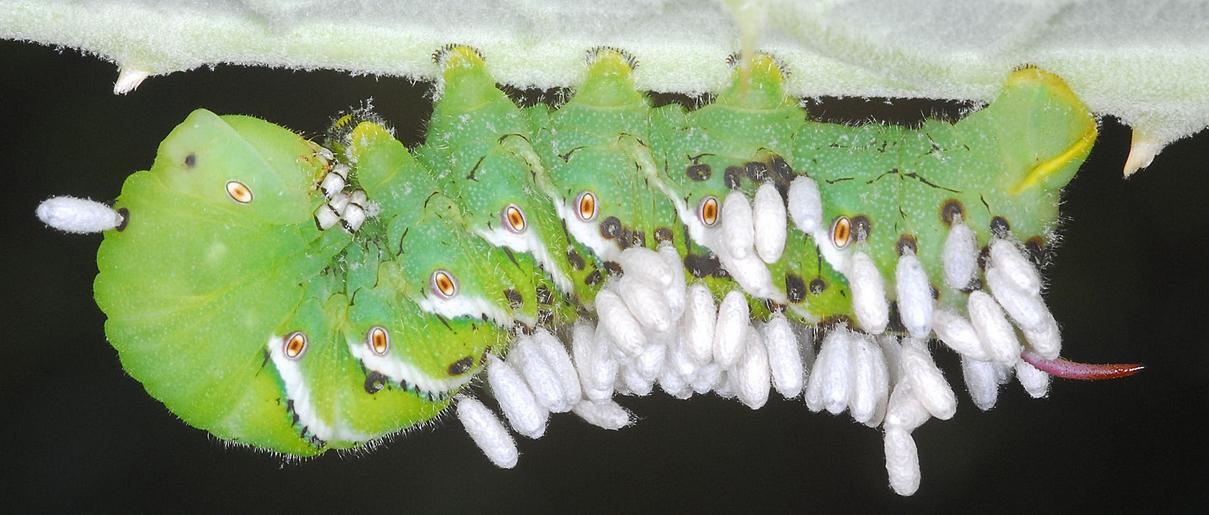Hornworm-tgn