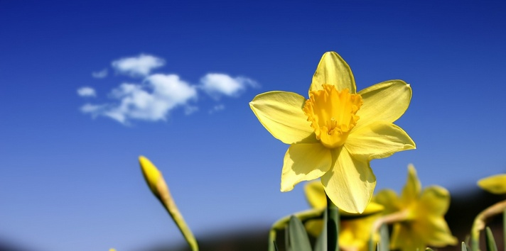 Wordsworth's Daffodils3