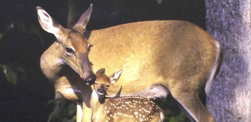 Fawn-Deer-Doe