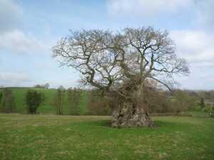 silton-oak-1